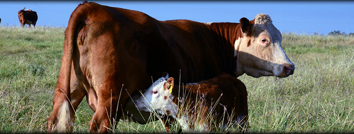 Cattle reproduction services at Deason Animal Hospital
