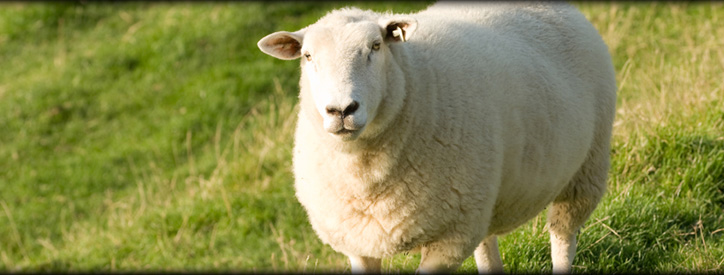 Sheep veterinary care at Deason Animal Hospital
