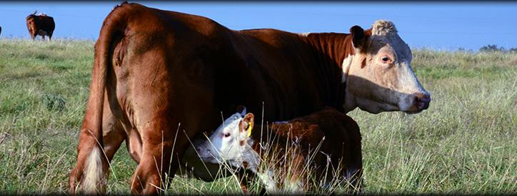 Cattle Reproduction, Floresville Animal Hospital, Vet in Floresville
