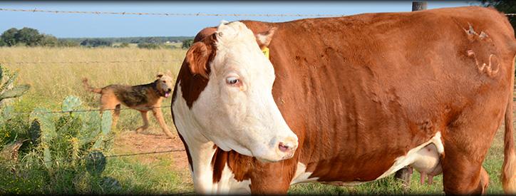 Cattle Veterinarian in Wilson County, Texas