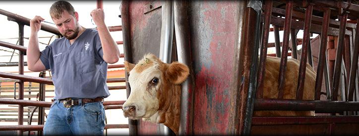 Herd Health Care, Cattle Veterinarian - Floresville TX