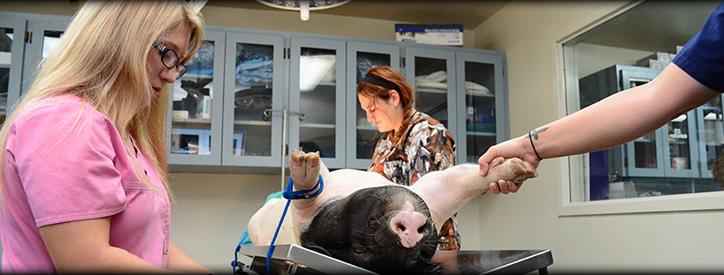 Pig Care, Floresville Vet, Large Animal Hospital Floresville