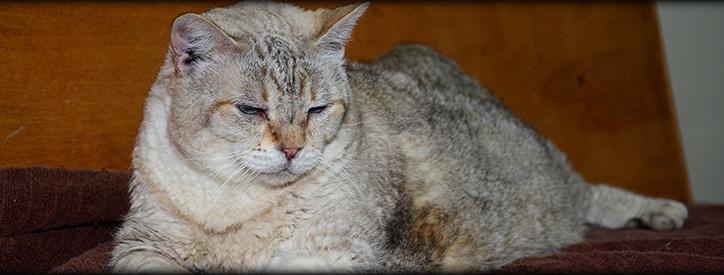 Senior Cat Care, Floresville Vet, Animal Hospital Floresville, TX