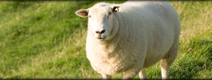 Sheep Care, Floresville Vet, Large Animal Hospital Floresville